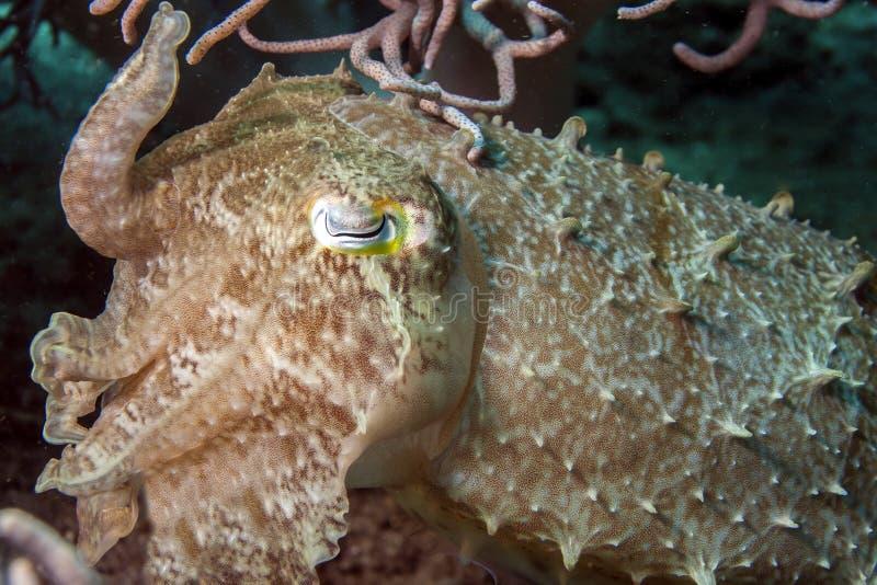Cuttlefish, Sepiowy latimanus obraz stock