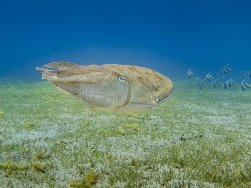 Cuttlefish swimming above the sea grass with clear blue sea in the background. Curious sepia pharaonis underwater at dive site Bannerfish Bay in Dahab, Egypt stock photography