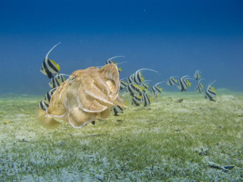 Cuttlefish swimming over the sea grass with a school of bannerfish in the background in Dahab, Egypt. Close up of a camouflaged cuttlefish to match the stock photos