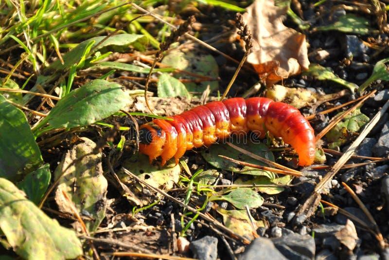 Cutworm στη φύση στοκ εικόνες