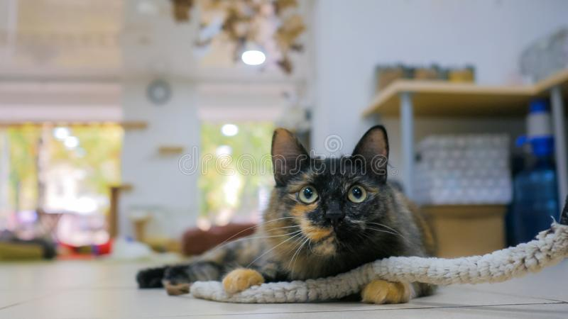 Cuty cat playing with toy. At modern cat cafe royalty free stock photography