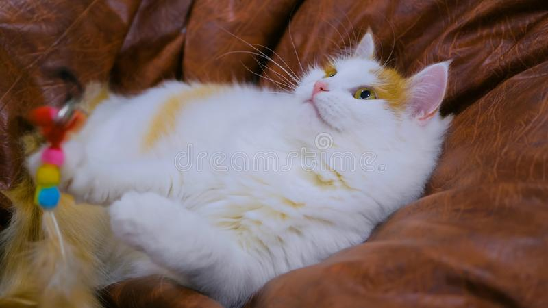 Cuty cat playing with toy. At modern cat cafe stock photos