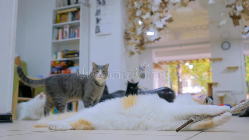 Cuty cat playing with toy. At modern cat cafe stock photo