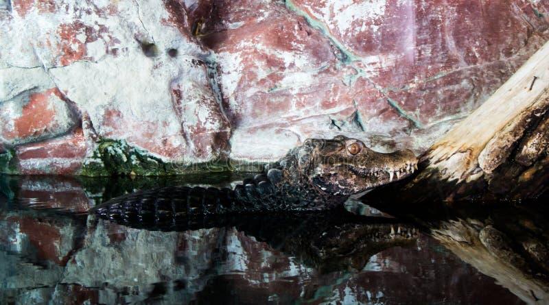 cuvier caiman karzeł s obraz royalty free