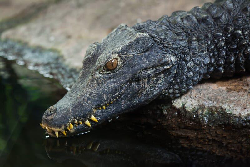 Cuvier-` s Zwergkaiman Paleosuchus-palpebrosus lizenzfreie stockfotos