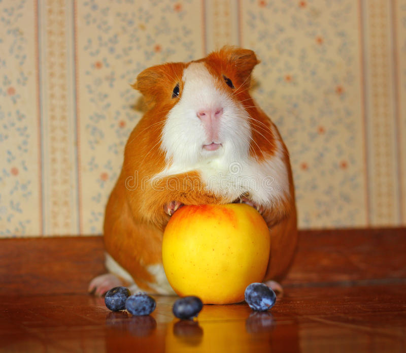 Cuy Mix Guinea Pig Pet with Fruit stock images