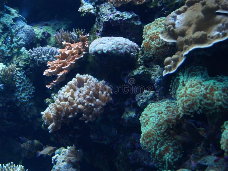 Cyan коралловый риф стоковое изображение rf