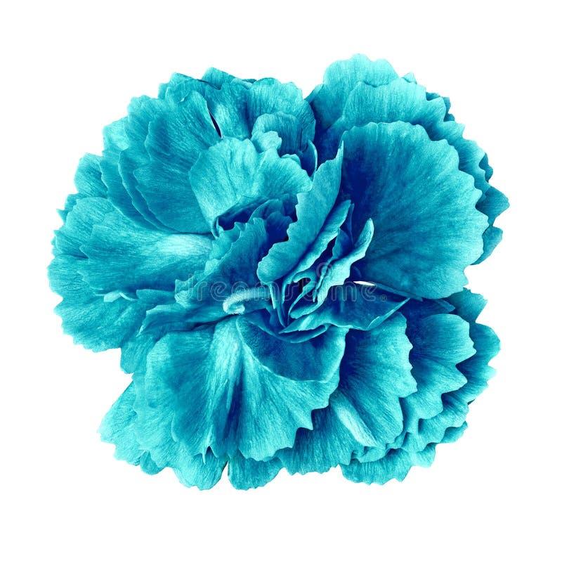 Cyan-blaue cerulean Gartennelkenblume lokalisiert auf weißem Hintergrund Nahaufnahme stockfotografie