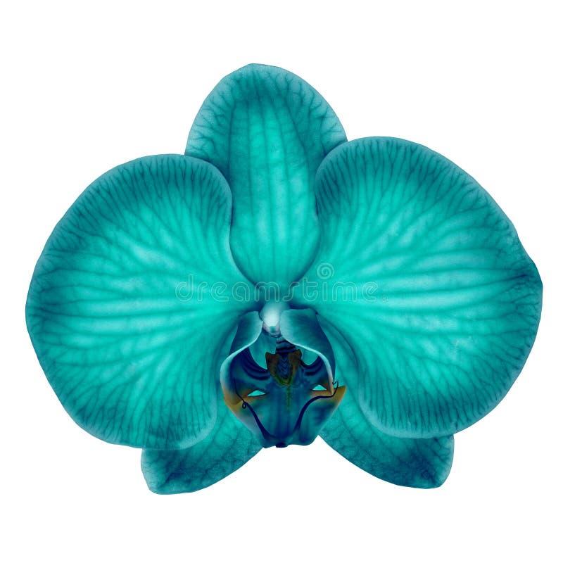 Cyan-blaue cerulean Orchideenblume lokalisierte wei?en Hintergrund mit Beschneidungspfad Blumenknospennahaufnahme lizenzfreies stockbild