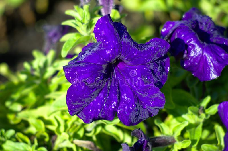 Cyan blue petunia with water drops in a street garden, yellow green soft background stock images