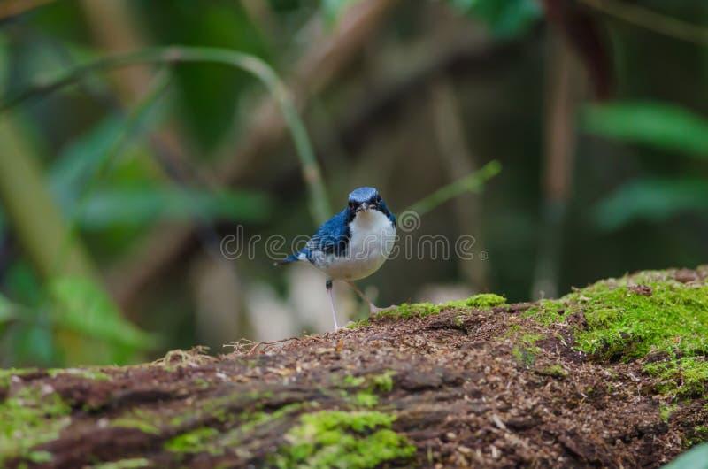 Cyane bleu sibérien de Robin Luscinia photographie stock libre de droits