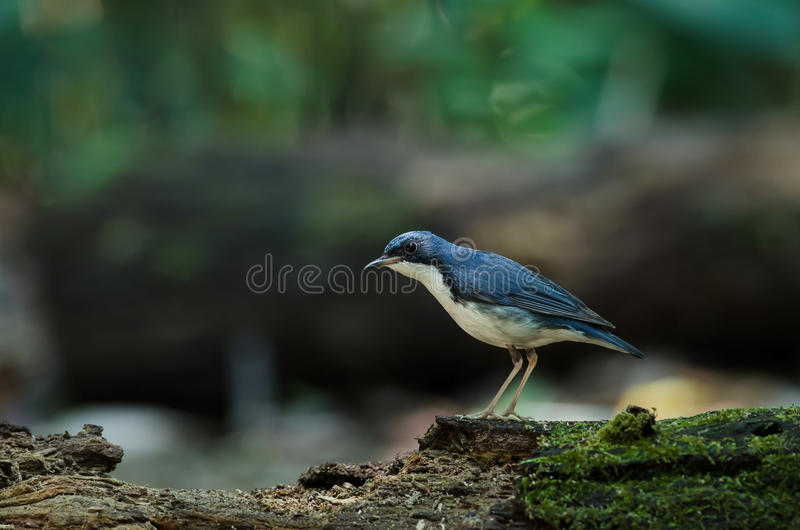 Cyane bleu sibérien de Robin Luscinia images stock