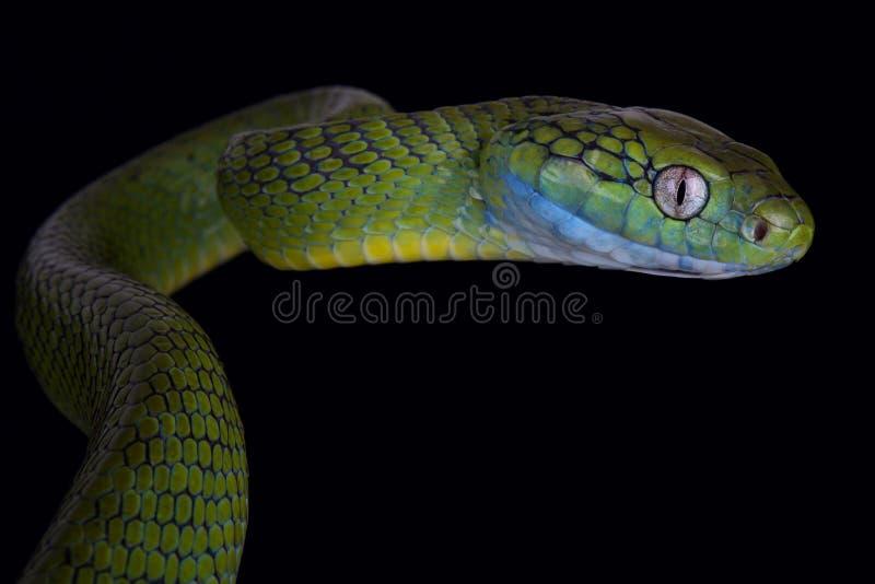 Cyanea vert de Boiga de serpent de chat photos stock