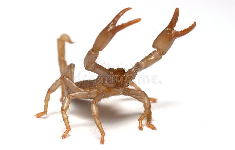 Cyaneus azul asiático de Forest Scorpion Heterometrus imagen de archivo libre de regalías