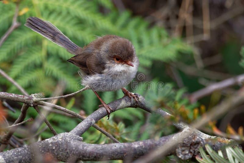 Cyaneus superbe de Fairywren - de Malurus - l'oiseau de passerine dans la famille Australasian de roitelet, Maluridae, et est com photo stock