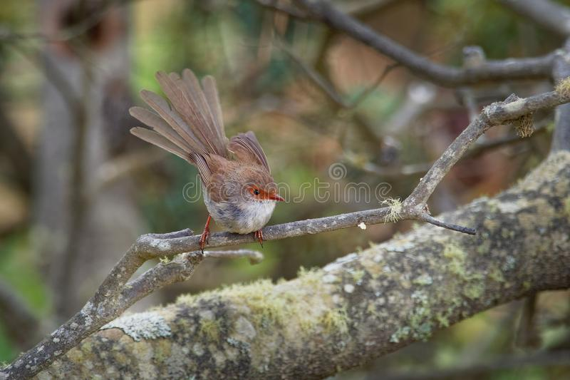 Cyaneus superbe de Fairywren - de Malurus - l'oiseau de passerine dans la famille Australasian de roitelet, Maluridae, et est com photographie stock libre de droits