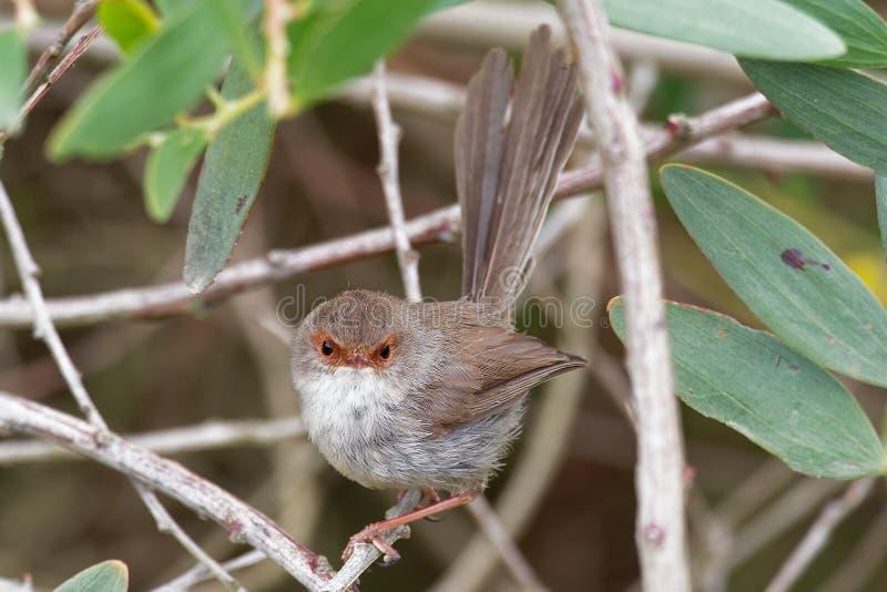 Cyaneus superbe de Fairywren - de Malurus - l'oiseau de passerine dans la famille Australasian de roitelet, Maluridae, et est com images libres de droits