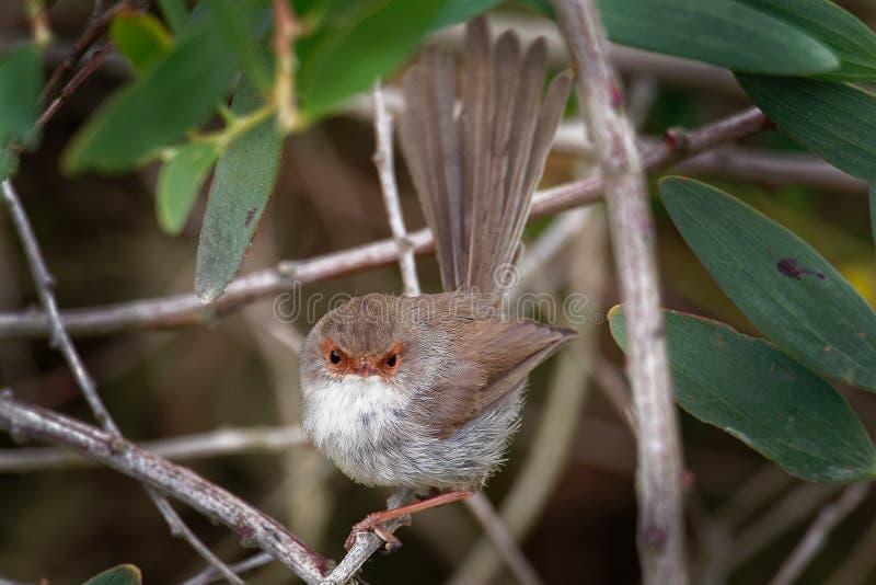 Cyaneus superbe de Fairywren - de Malurus - l'oiseau de passerine dans la famille Australasian de roitelet, Maluridae, et est com photographie stock