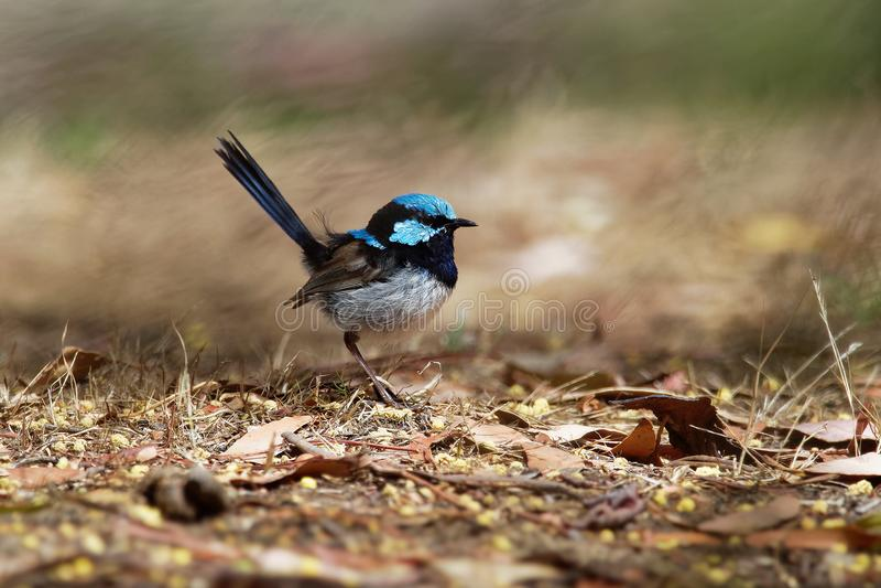 Cyaneus superbe de Fairywren - de Malurus - l'oiseau de passerine dans la famille Australasian de roitelet, Maluridae, et est com image libre de droits