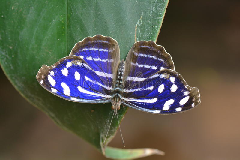 Cyaniris Bluewing butterfly royalty free stock photo