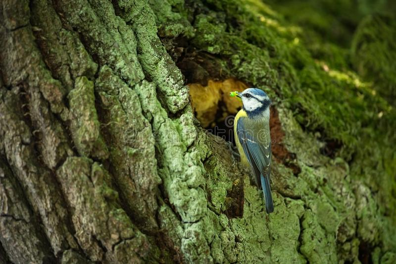 Cyanistes caeruleus 野生生物 E 美好的照片 自由本质 从鸟生活 春天 蓝色鸟 库存图片