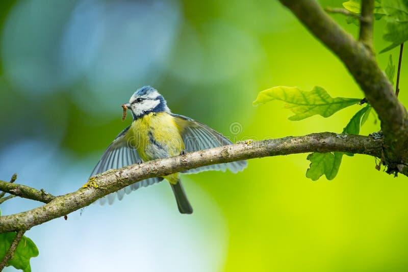 Cyanistes caeruleus 野生生物 E 美好的照片 自由本质 从鸟生活 春天 蓝色鸟 库存照片