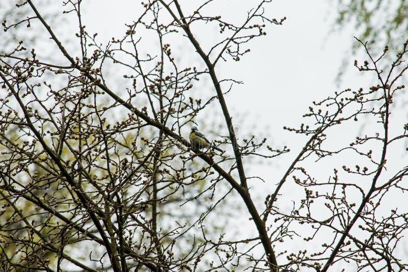Cyanistes-caeruleus lizenzfreie stockfotografie