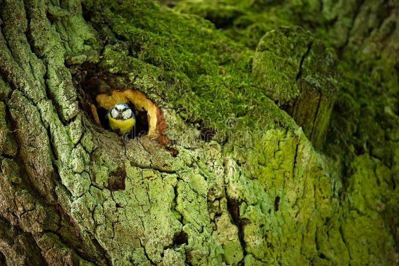 Cyanistes caeruleus djurliv E härlig bild fri natur Från fågelliv Vår Slösa fågeln royaltyfria foton