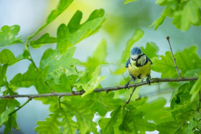 Cyanistes-caeruleus wildnis E Schöne Abbildung Freie Natur Vom Vogelleben Frühling Blauer Vogel lizenzfreie stockfotos