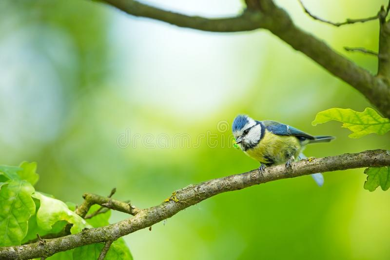 Cyanistes-caeruleus wildnis E Schöne Abbildung Freie Natur Vom Vogelleben Frühling Blauer Vogel lizenzfreies stockfoto