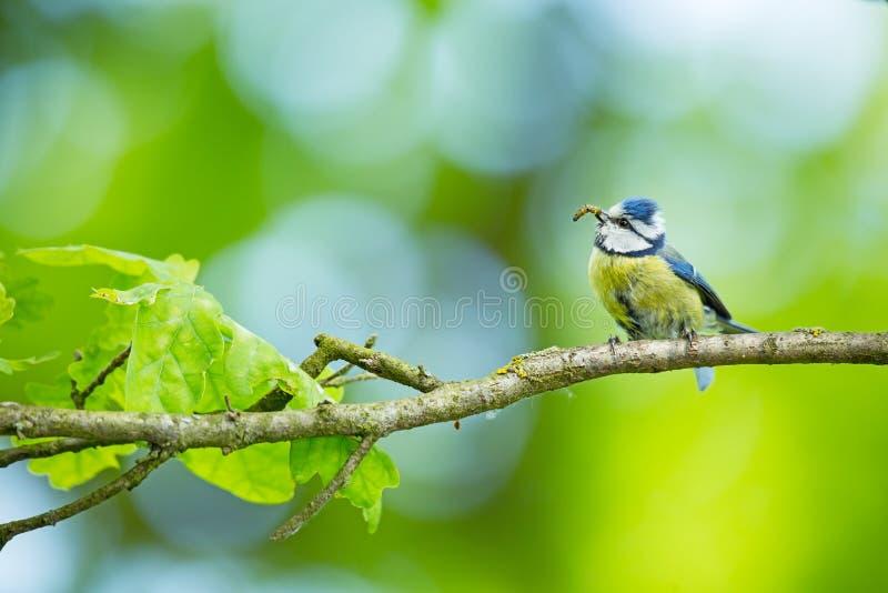 Cyanistes-caeruleus wildnis E Schöne Abbildung Freie Natur Vom Vogelleben Frühling Blauer Vogel lizenzfreie stockfotografie