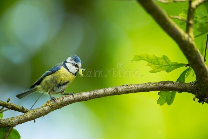 Cyanistes-caeruleus wildnis E Schöne Abbildung Freie Natur Vom Vogelleben Frühling Blauer Vogel stockfotografie