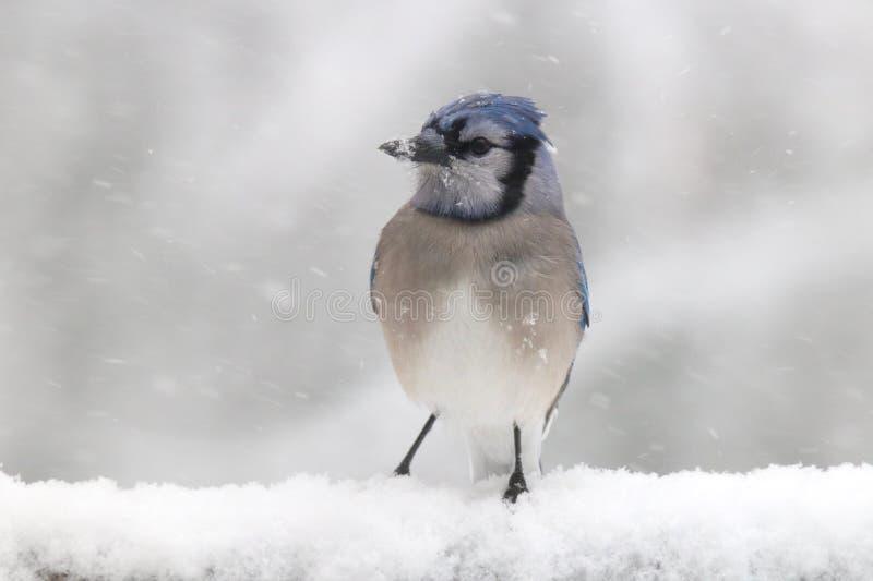 Cyanocitta cristata di inverno in una tempesta della neve fotografia stock libera da diritti