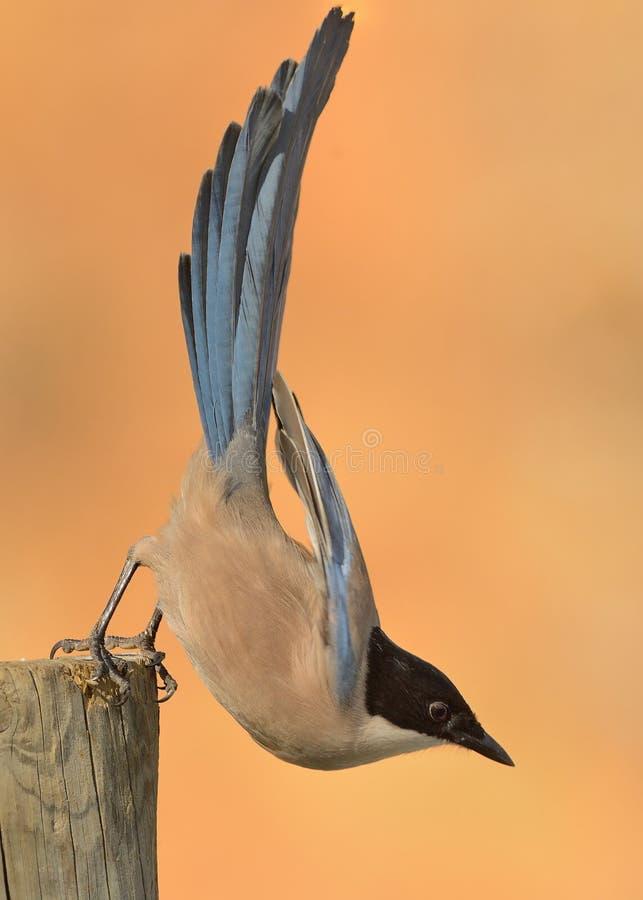 cyanus Azul-con alas de Cyanopica de la urraca que busca para la comida imágenes de archivo libres de regalías
