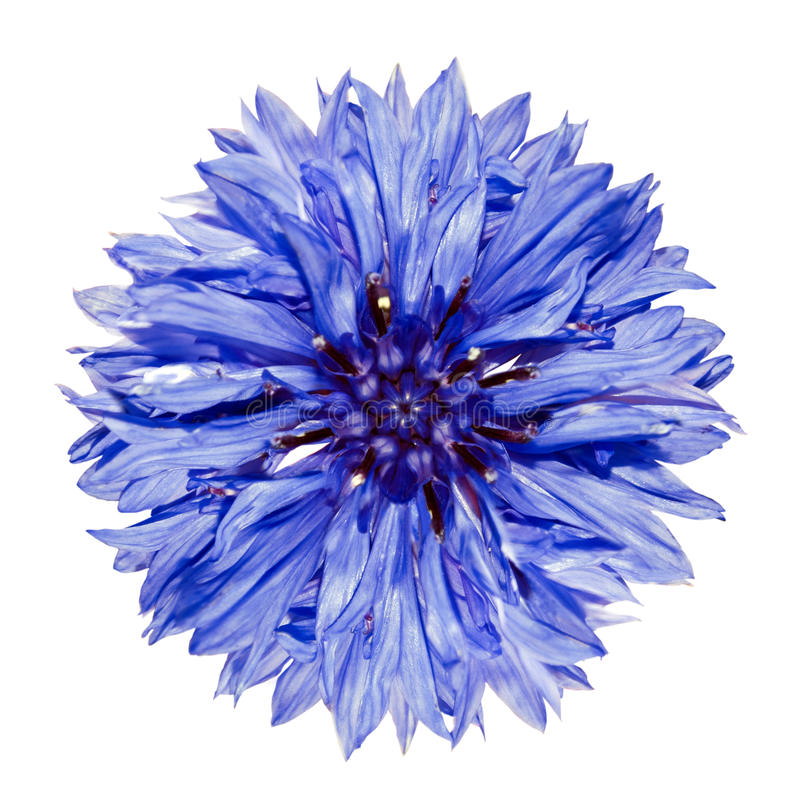 Cyanus bleu simple de Centaurea de Cornflower d'isolement images libres de droits