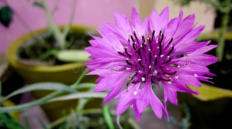 Cyanus Segetum, Kornblume-Blume im Garten stockfoto