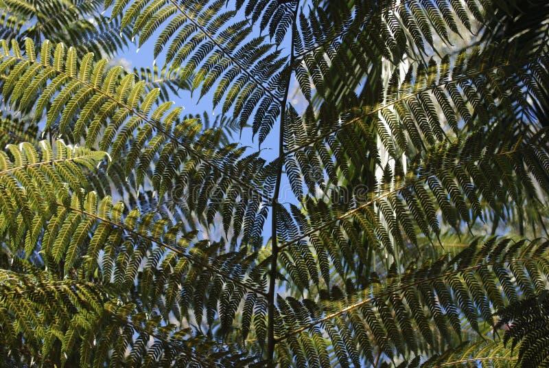 Cyathea在蓝天背景的dealbata叶子 免版税库存照片