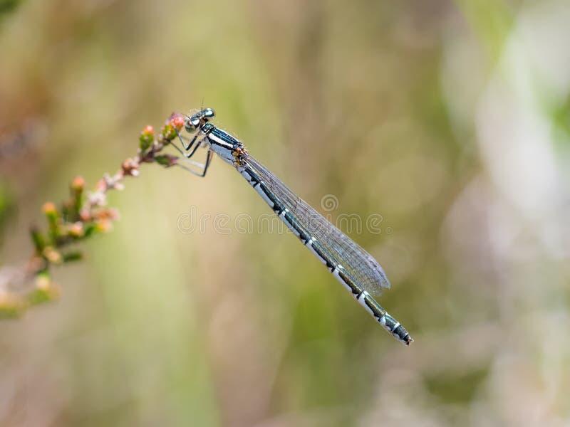 Cyathigerum azul común de Enallagma del damselfly de la hembra imágenes de archivo libres de regalías