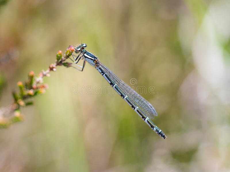 Cyathigerum azul comum de Enallagma do damselfly da fêmea imagens de stock royalty free