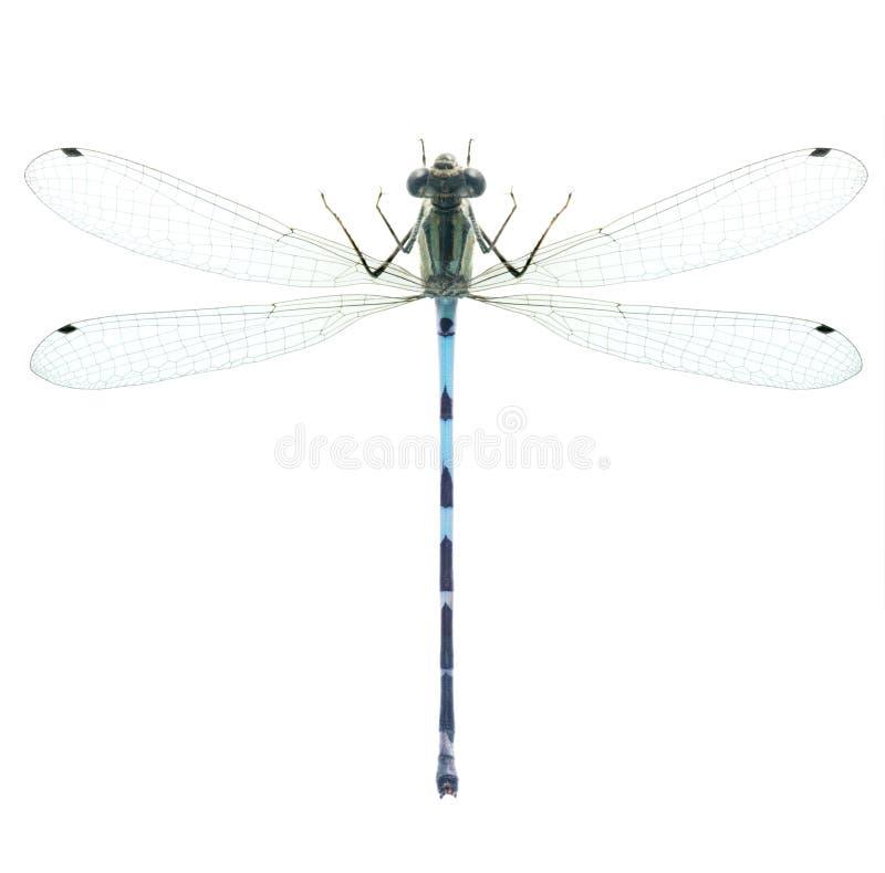 Cyathigerum de Enallagma da libélula (homem) imagens de stock royalty free