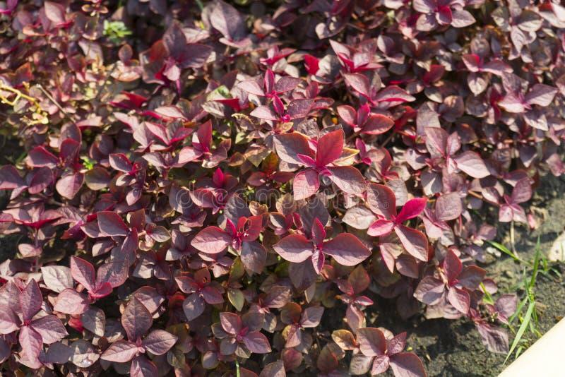 Cyathula prostrata L Blume växt royaltyfria bilder