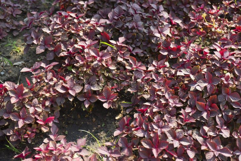 Cyathula prostrata L Blume växt royaltyfri foto