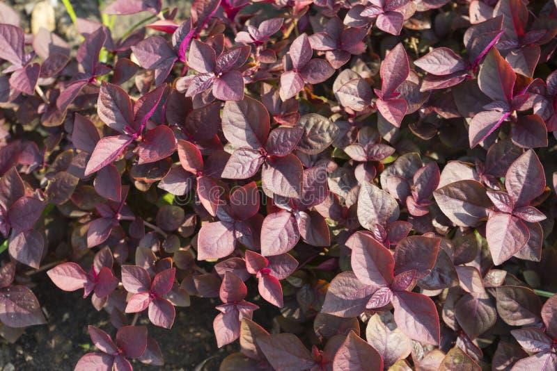 Cyathula prostrata L Blume växt royaltyfria foton