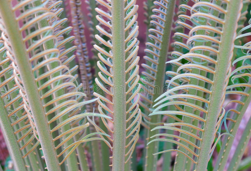 Cycad stock afbeelding