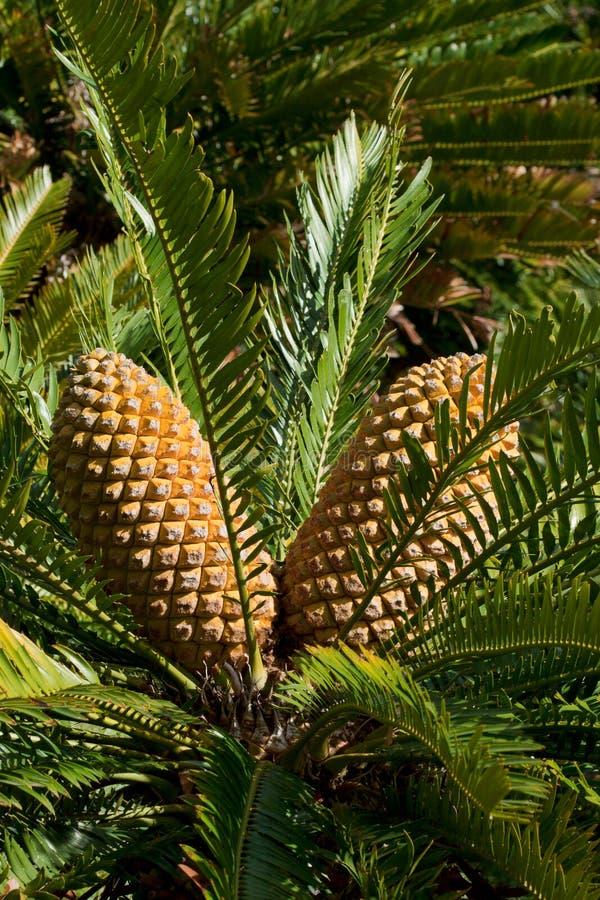 Cycad cone Encephalartos. Kirstenbosch National Botanical Gardens. South Africa royalty free stock photos