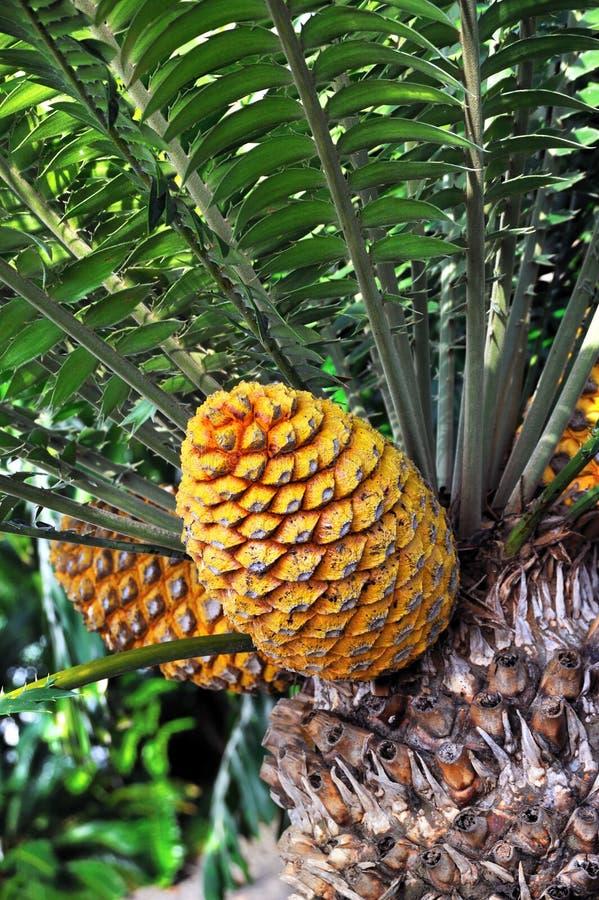 Cycad cone, Encephalartos Transvenosus. Monte Palace botanical garden, Monte, Madeira royalty free stock photography