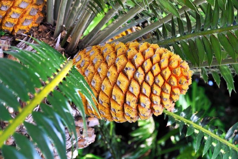 Cycad cone, Encephalartos Transvenosus. Monte Palace botanical garden, Monte, Madeira stock photography