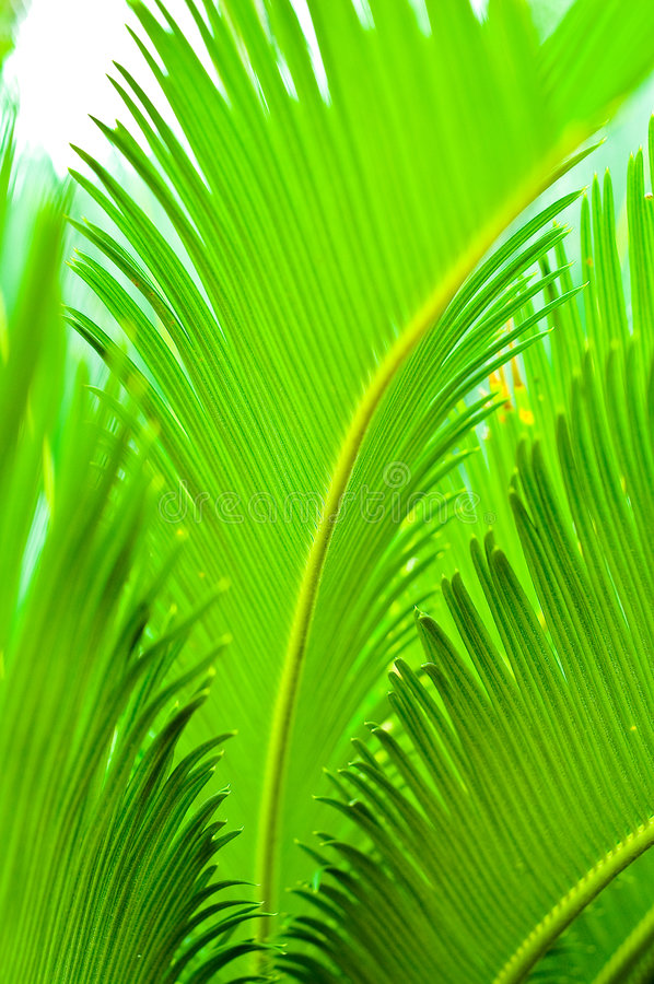 Download Cycad leaf stock photo. Image of cycad, plant, green, line - 3954474