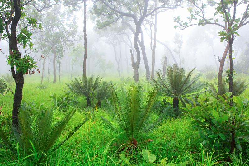 Cycad palm tree in the forest with the mist royalty free stock image