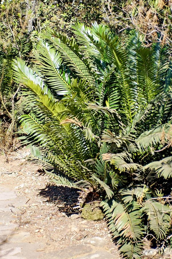 Cycad in Pretoria, South Africa. Cycad in the botanical gardens in Pretoria, South Africa royalty free stock image